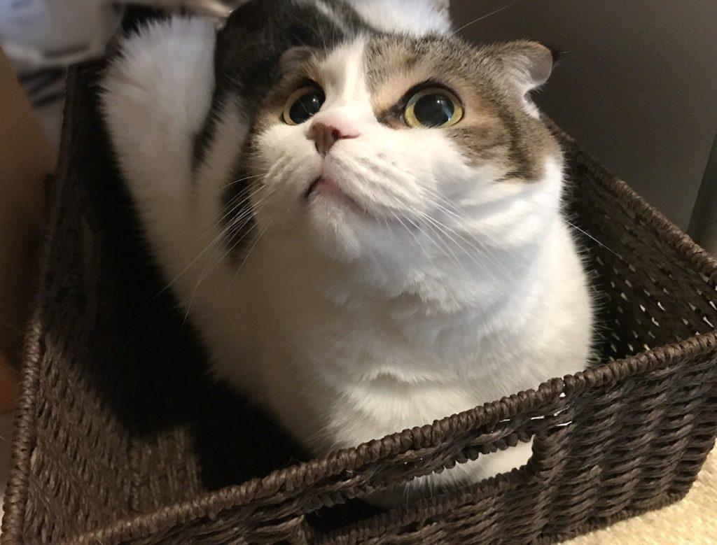gatto sakurai